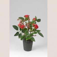 Rose rot klein