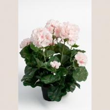 Geranium zartrosa